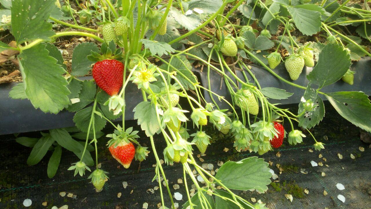 Es ist soweit: Die Erdbeersaison beginnt!